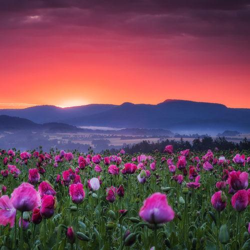 Sonnenaufgang über der Mohnblüte von Meißner in Germerode.