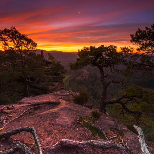 Morgenröte über dem Pfälzerwald mit Wetterkiefern.
