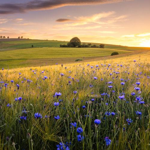 Der Odenwald im Frühling bei Sonnenuntergang mit Kornblumen